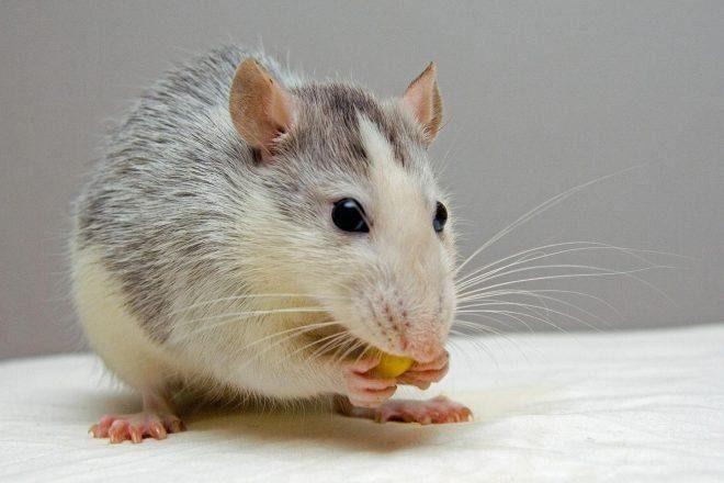 Novo istraživanje pokazalo da štakori nakon alkohola žude za kokainom
