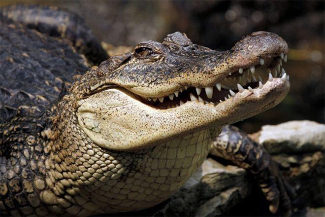 Aligatori na ketaminu dobili slušalice zbog istraživanja sluha dinosaura