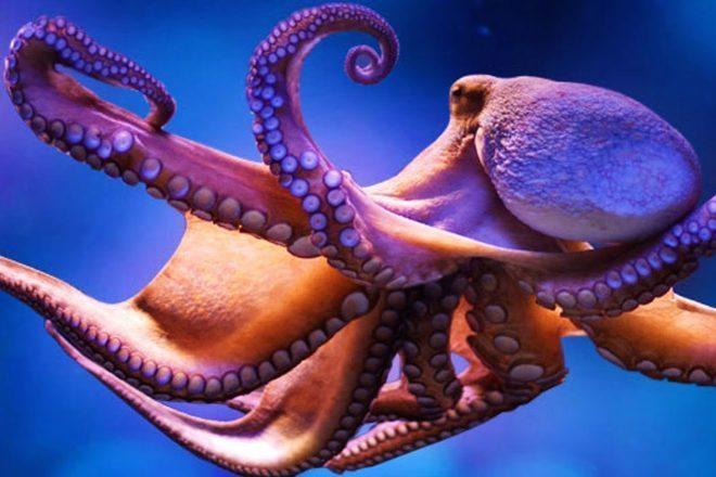 Znanstvenici dali MDMA hobotnicama kako bi otkrili podrijetlo društvenog ponašanja
