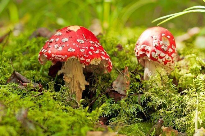 Magične gljive bi uskoro mogle postati legalne u Kaliforniji